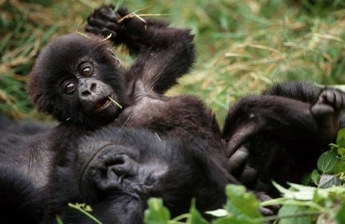 baby gorillas mommy squee spree squee