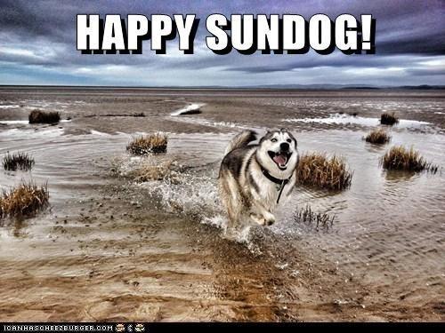dogs happy sundog husky beach huskie Sundog - 6875750656