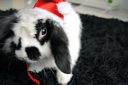 Bunday christmas bunny santa hat holidays rabbits - 6878289152