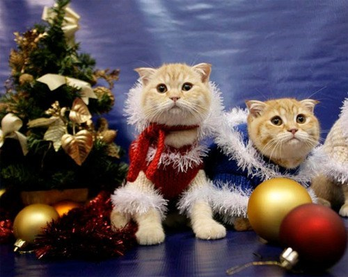 cyoot kitteh of teh day,christmas,sweaters,ornaments,christmas trees,dressed up,Cats