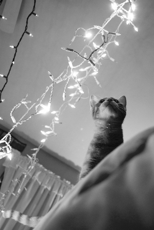 cyoot kitteh of teh day,christmas,christmas lights,black and white,Cats