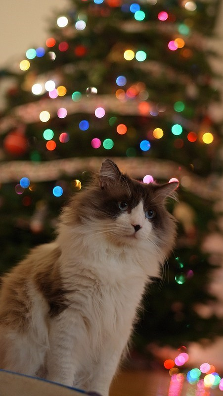 cyoot kitteh of teh day,christmas,christmas trees,christmas lights,Cats