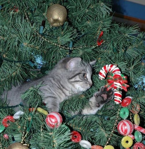 cyoot kitteh of teh day christmas destruction ornaments candy canes christmas trees Cats - 6878338816