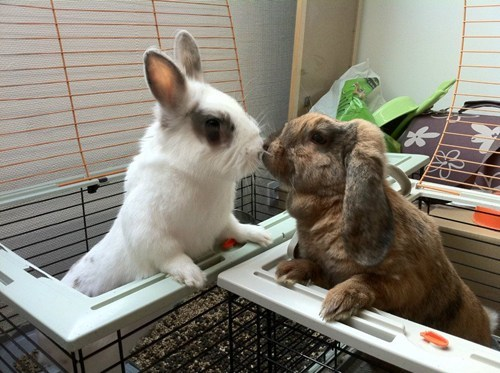Bunday cages kisses rabbit bunny squee