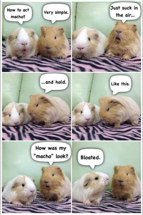cute conversation guinea pig funny - 6878725