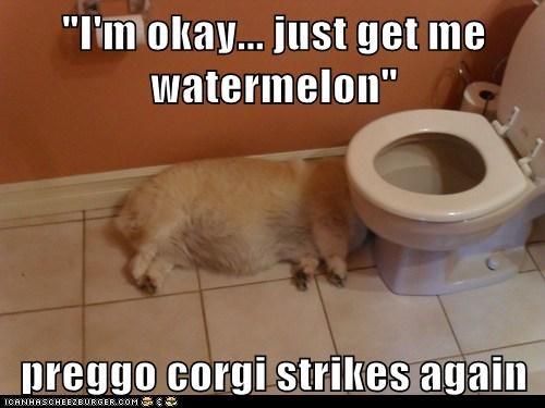 """I'm okay... just get me watermelon""  preggo corgi strikes again"