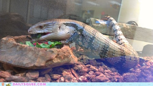 reader squee pets lizard eating noms squee salad - 6880990464