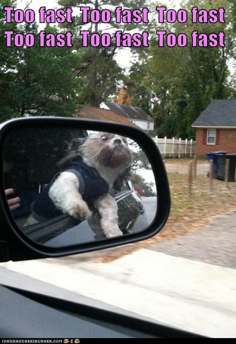 dogs,mirror,car,driving,head out the window,too fast,what breed