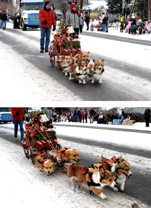 sleigh christmas cute corgi dogs funny holidays - 6884000512