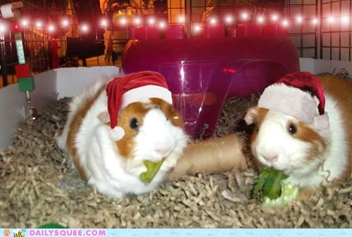 christmas,reader squee,pets,guinea pigs,squee,santa hat,holidays