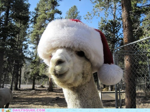 christmas,reader squee,santa hats,squee,alpacas,holidays