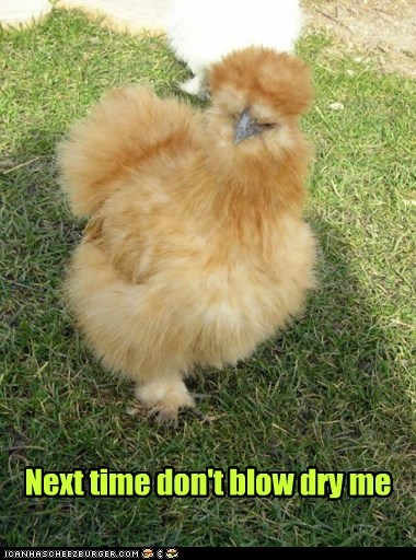 puffed up,Fluffy,feathers,blow dry,chickens,dont