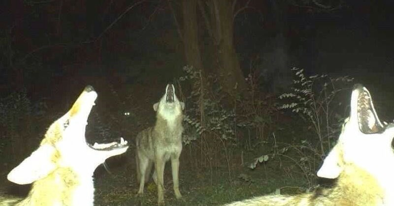 cursed image of three wolves howling together