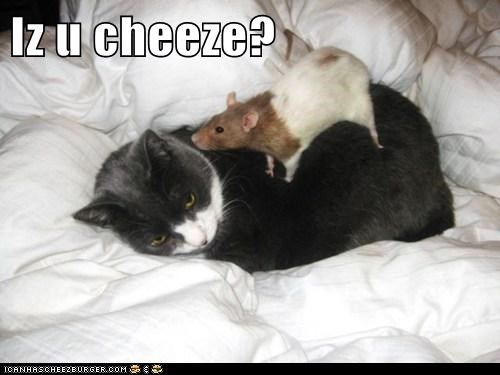 annoyed rats cheese eating Cats mistake waking up