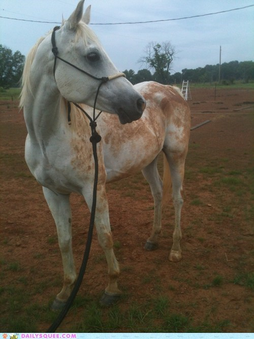 reader squee pets arabic horses dirty squee - 6889905920