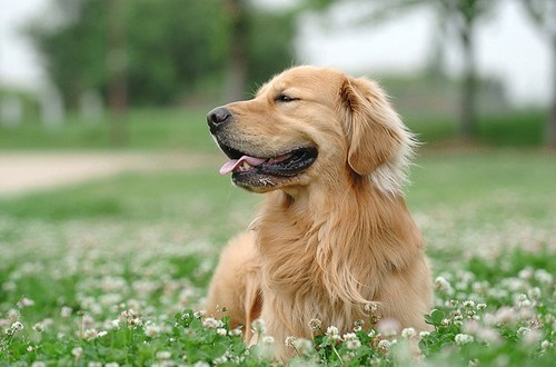 poll,dogs,goggie ob teh week,results,winner,golden retriever