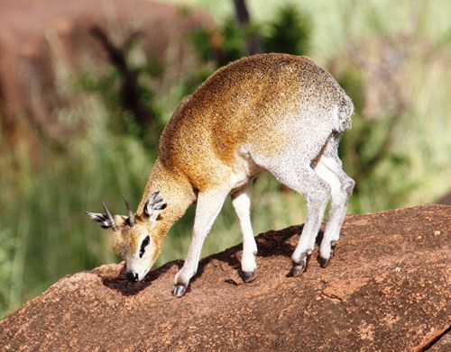 antelopes tiny squee spree squee klipspringer - 6890726400