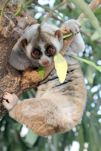 discovery Slow Loris new species squee