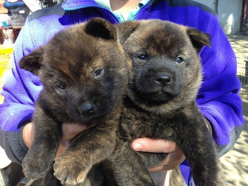 dogs puppies Fluffy what breed cyoot puppy ob teh day - 6891081472