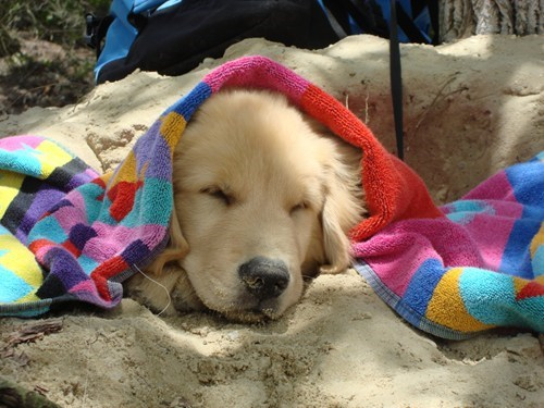 dogs,scotland,beach,blanket,origins,golden retriever