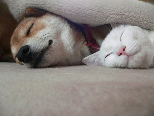 dogs snuggles kittehs r owr friends blanket shiba inu Cats sleeping - 6893830144