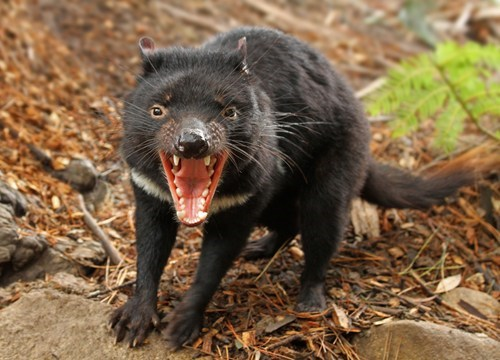 tasmanian devils,teeth,creepicute,squee