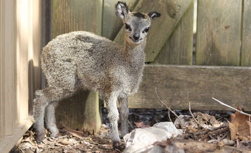 rocks,antelope,Fluffy,squee spree,squee,klipspringer