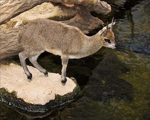 antelopes ungulate squee spree squee tip toe klipspringer - 6894430720
