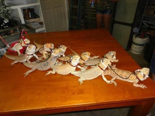 sleigh,christmas,reindeer,squee,holidays,bearded dragons