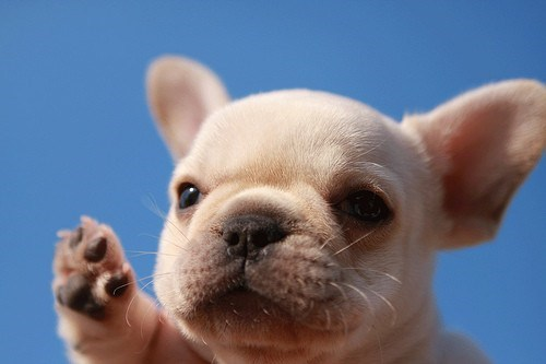 dogs puppies french bulldogs high five cyoot puppy ob teh day - 6894755840