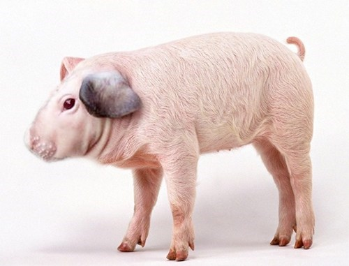 oh god no do not want shoop visual portmanteau pig literalism guinea pig nightmare fuel - 6895011072