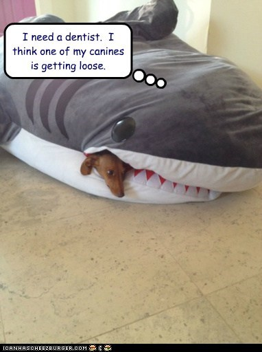 tooth,dogs,bean bag,dentist,dachshund,canine,shark