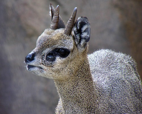 antelope horns ungulate squee spree squee klipspringer - 6898447360