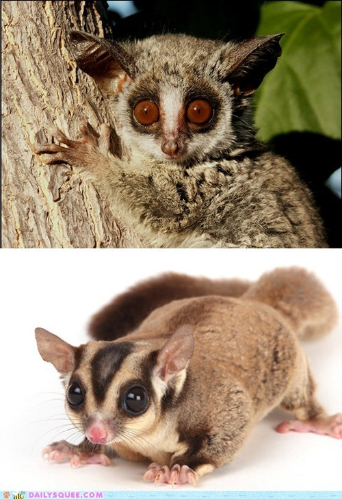 poll versus bush baby face off sugar glider galago squee spree squee