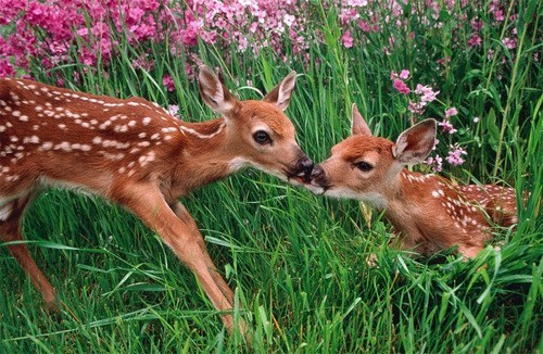 fawns deers kissing flowers squee - 6901155584