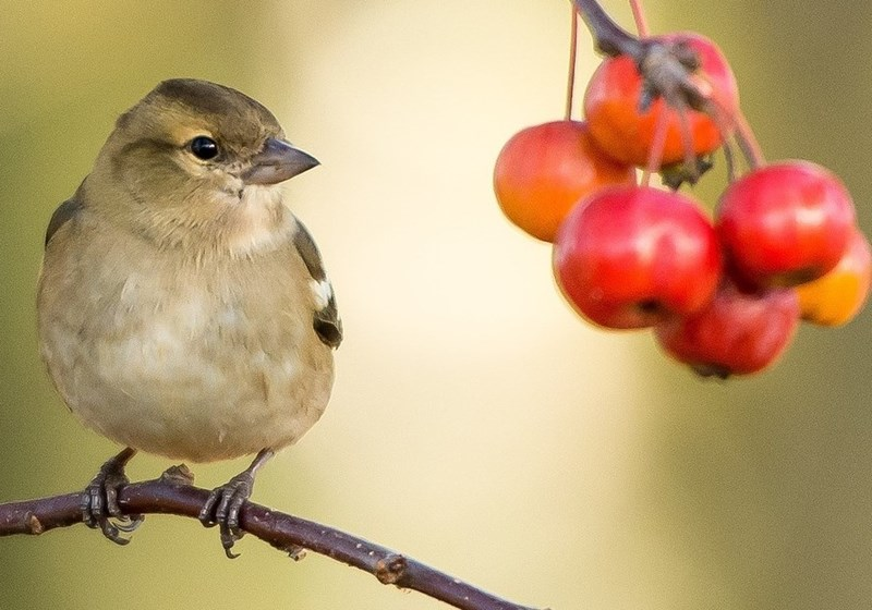 poisoning birds Minnesota berry - 6902021