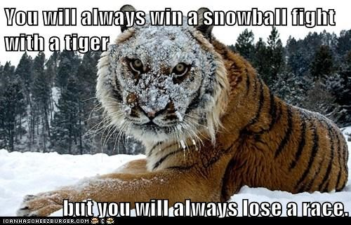 snow tigers race chasing lose angry win snowball fight