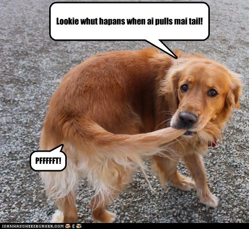 dogs chasing your tail pulling tail golden retriever trick fart - 6906423552