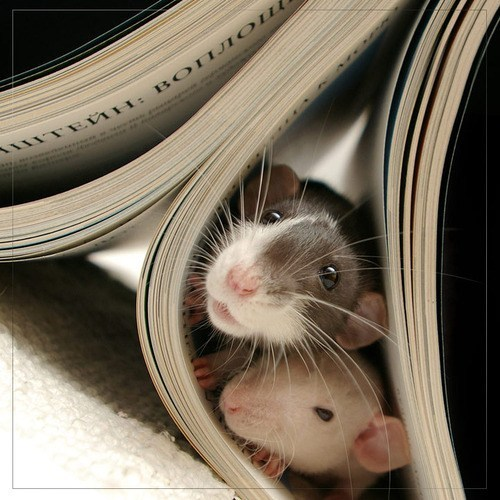 rats books adventure squee whiskers - 6906711040