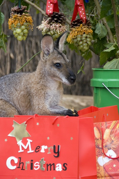 christmas australia down under wallaby squee holidays