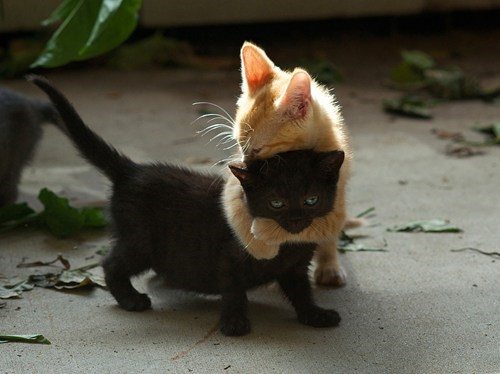 cyoot kitteh of teh day kitten hugging two cats hugs Cats - 6907115264