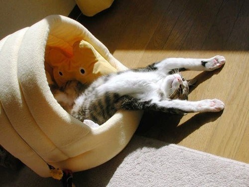 cyoot kitteh of teh day,comfort is relative,kitten,sunbeams,sun,Cats,relaxed,sleeping