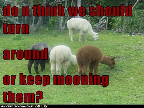 decisions,mooning,butts,llamas,alpacas,turn around