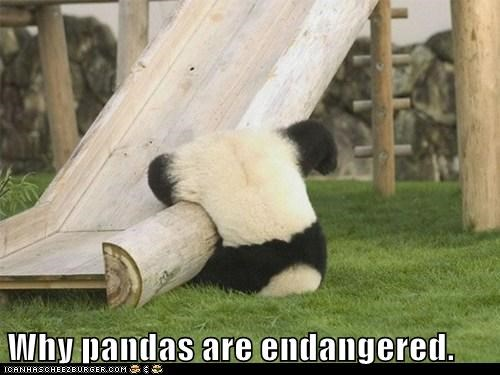 slide falling endangered panda reason stupid