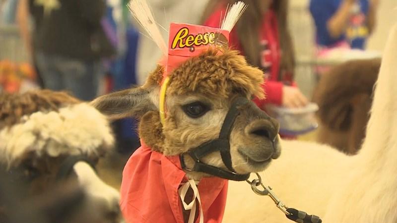 llamas in costumes