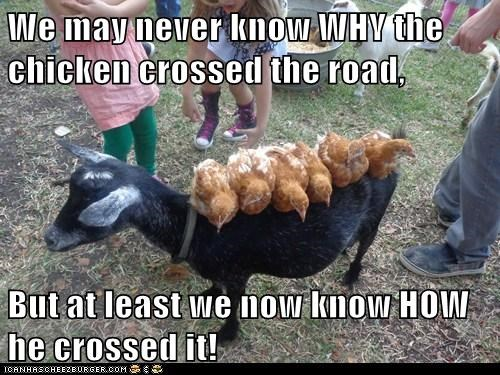 how,goats,crossing the road,chickens,riding