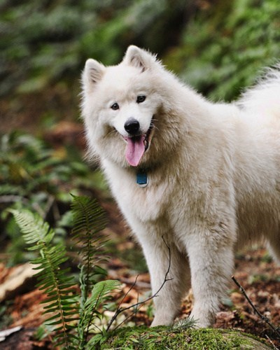 poll dogs samoyed goggie ob teh week results tongue winner