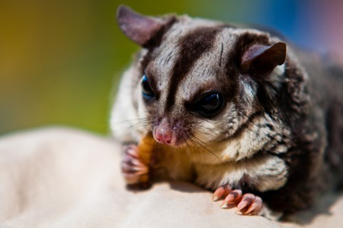 sugar gliders,noms,squee spree,squee,marsupial