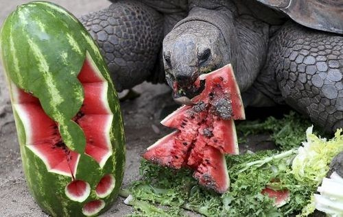 christmas,tortoise,watermelon,tree,turtle,squee,holidays