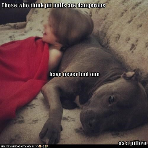 Those who think pit bulls are dangerous have never had one as a pillow.